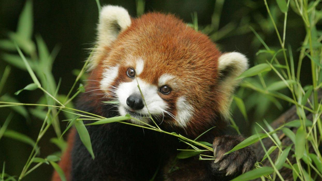 bamboo red pandas wallpaper