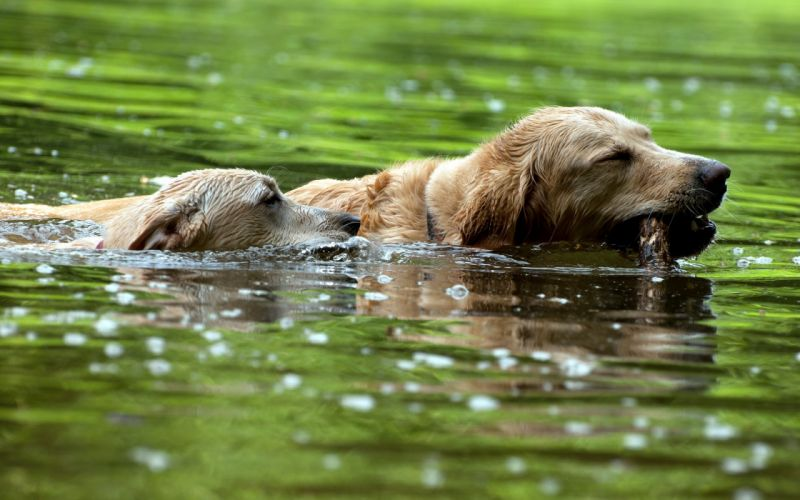 water animals dogs swimming pets wallpaper