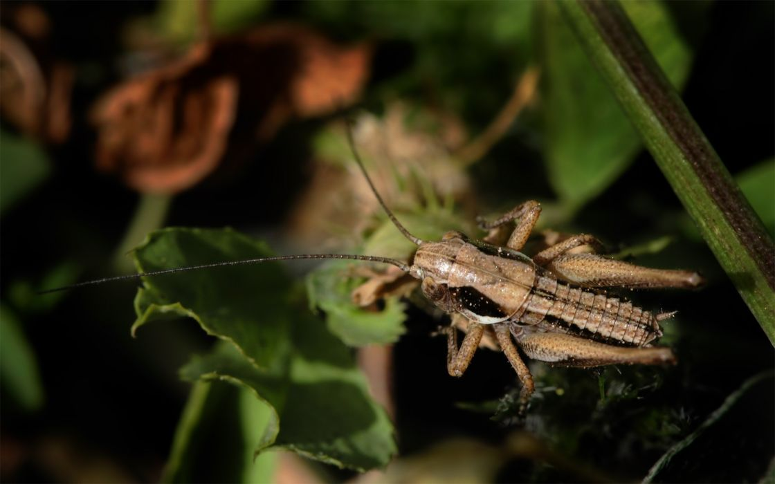 nature nymph bushes crickets wallpaper