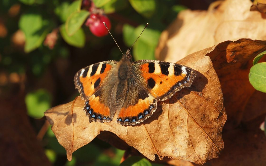 nature insects leaves summer depth of field butterflies wallpaper