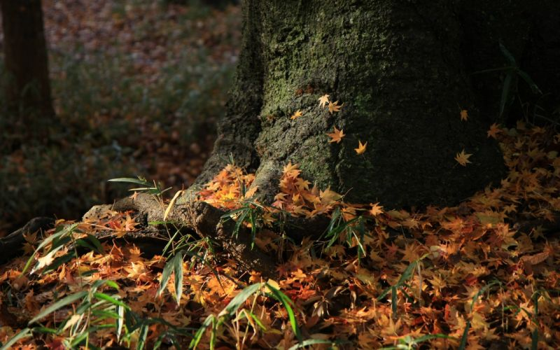 landscapes autumn shrine maple leaf wallpaper