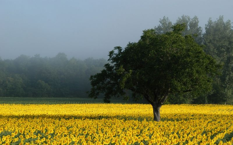 nature fields yellow flowers wallpaper