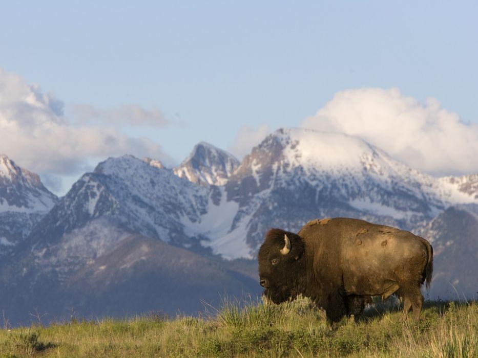 American nature animals bison Montana wallpaper