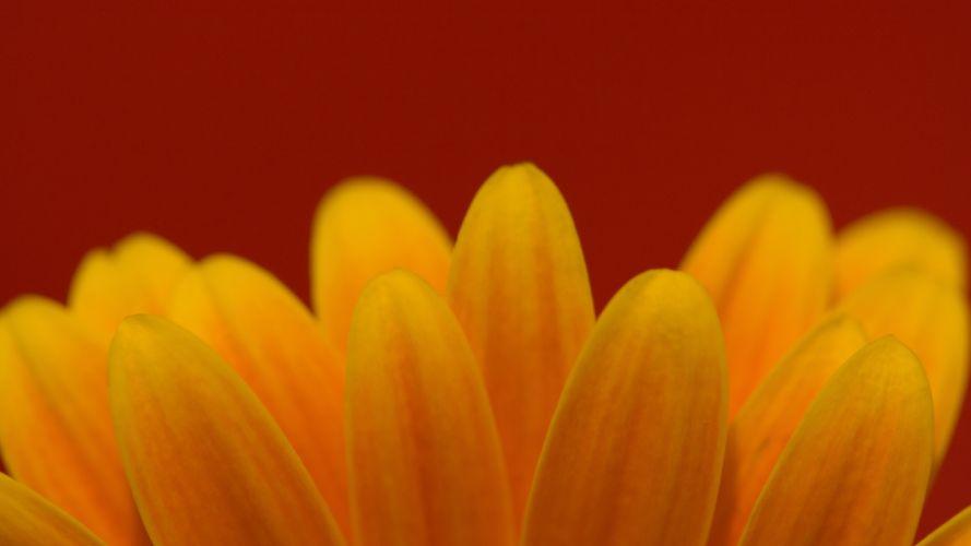 flower petals yellow flowers wallpaper