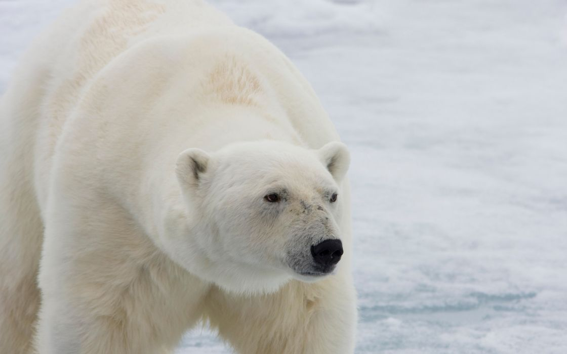 animals bears polar bears wallpaper