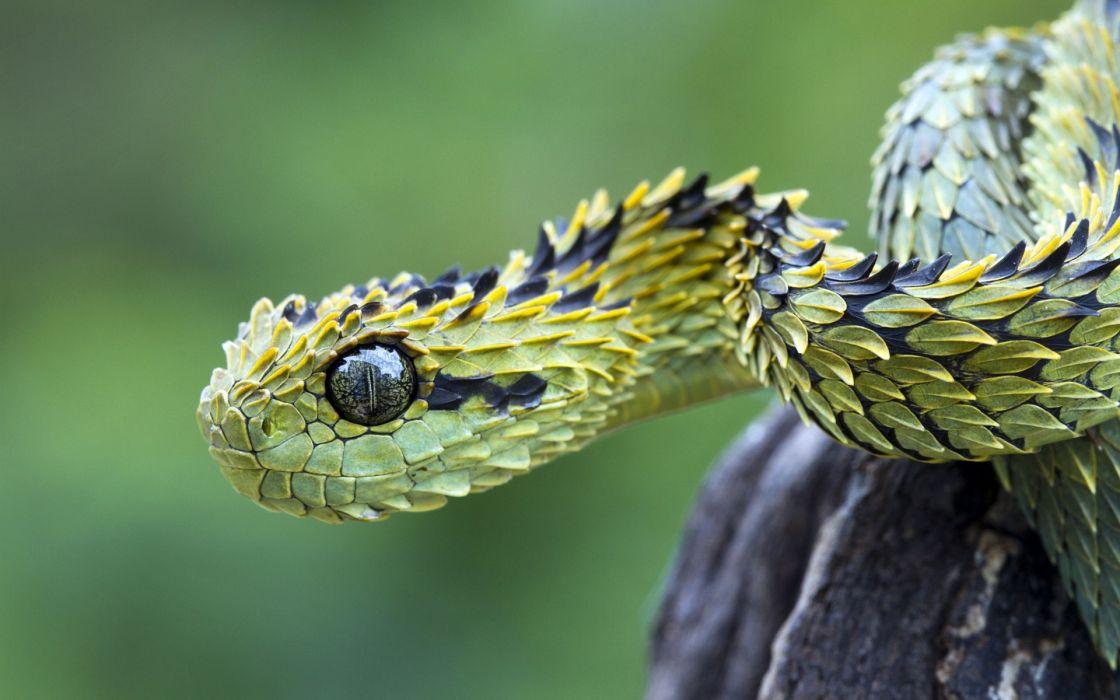 animals snakes viper reptiles wallpaper