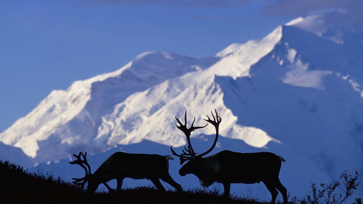 Alaska caribou National Park wallpaper
