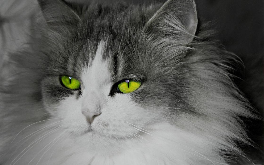 cats animals green eyes selective coloring wallpaper