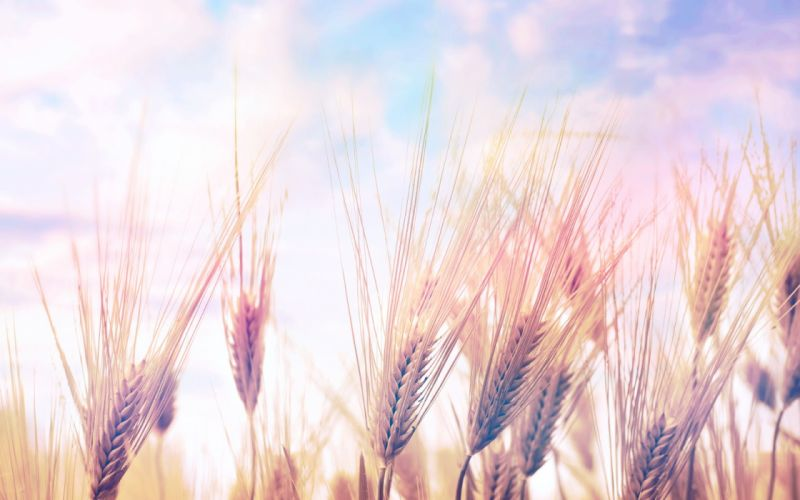 landscapes nature fields wheat spring wallpaper
