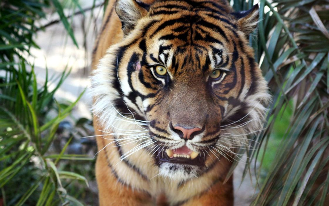 animals tigers wallpaper