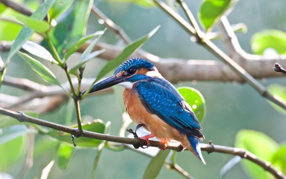 blue birds kingfisher Rio wallpaper