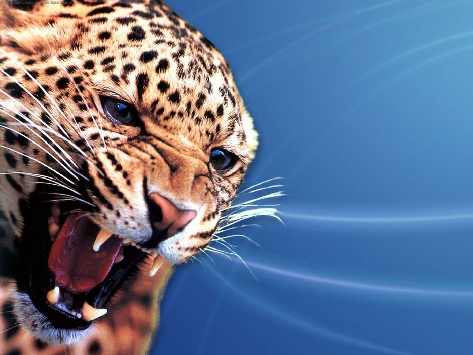 nature animals leopards wallpaper