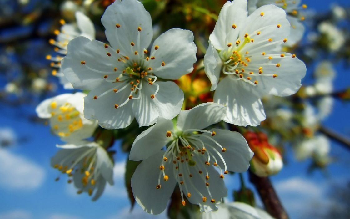 blossoms Blossom wallpaper