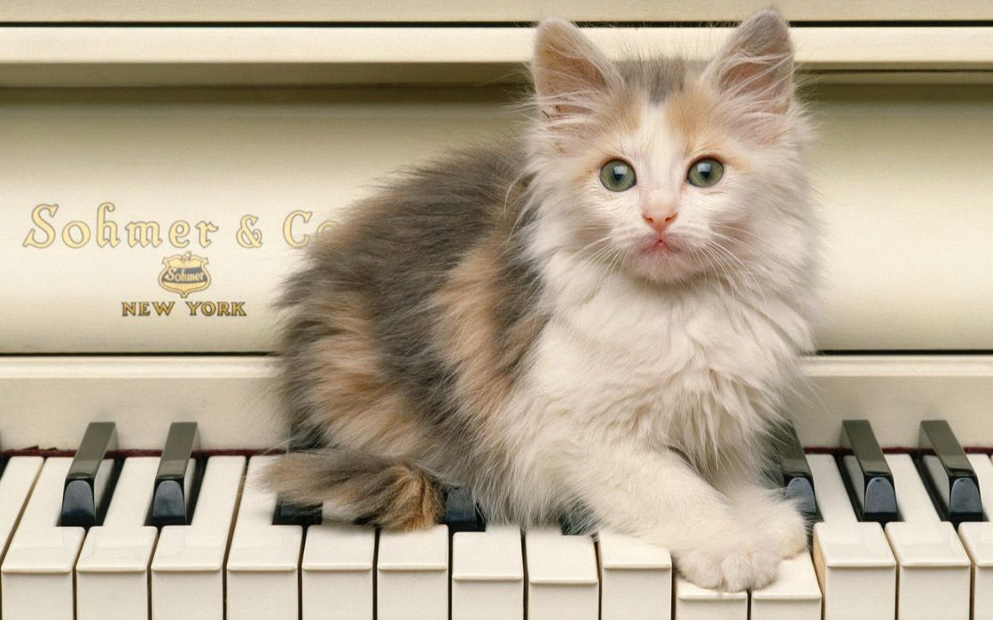 piano cats blue eyes animals kittens wallpaper