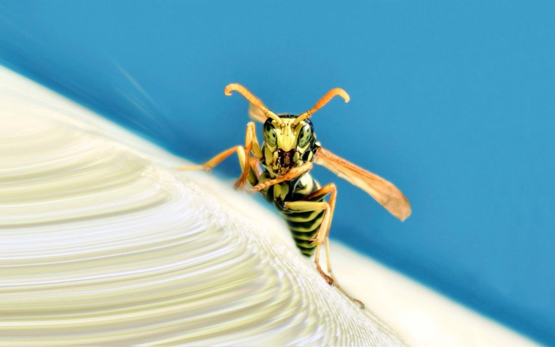 insects wasp wallpaper