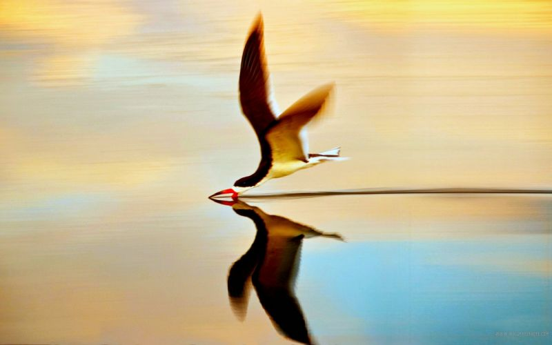 water flying birds reflections simple background wallpaper