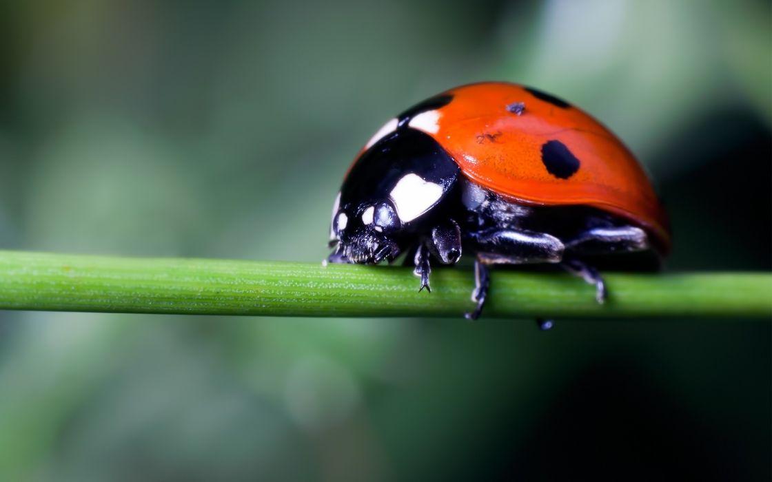 nature macro ladybirds wallpaper