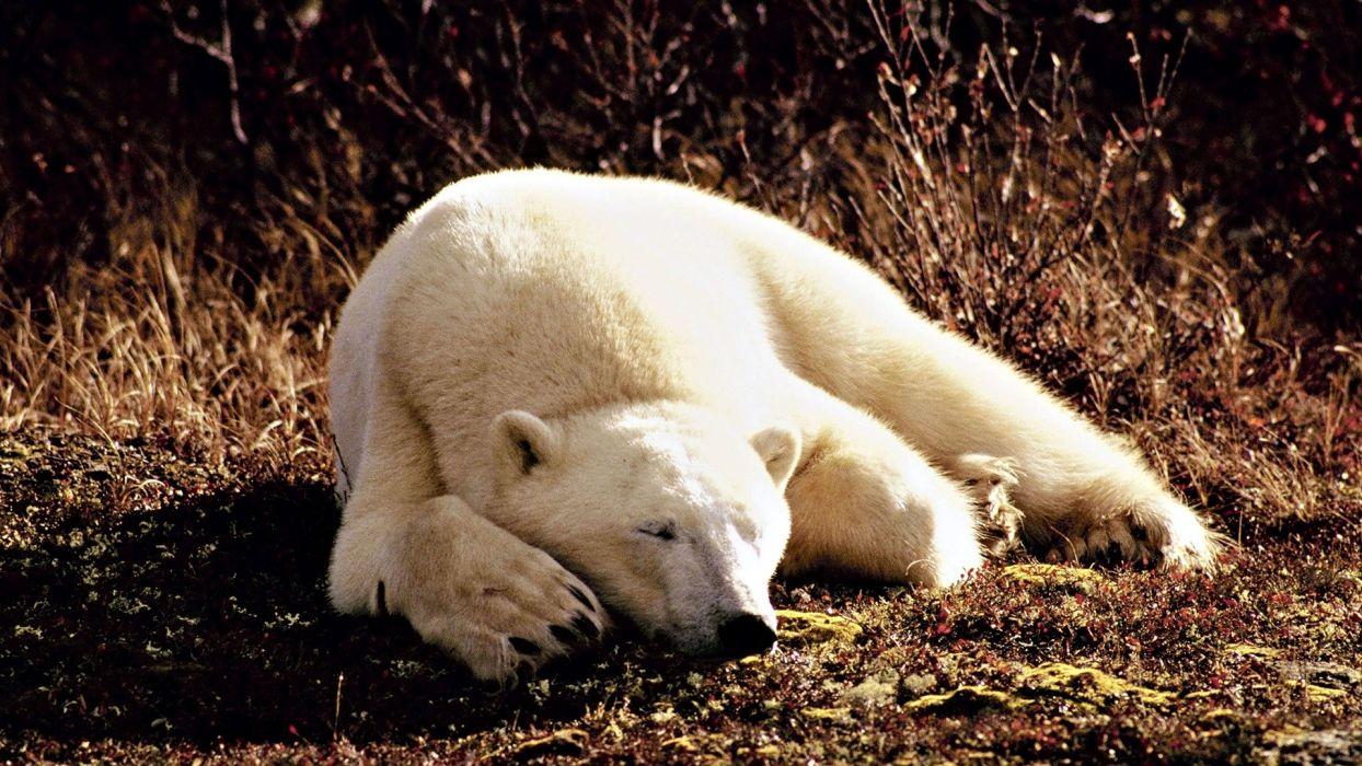 animals sleeping polar bears wallpaper