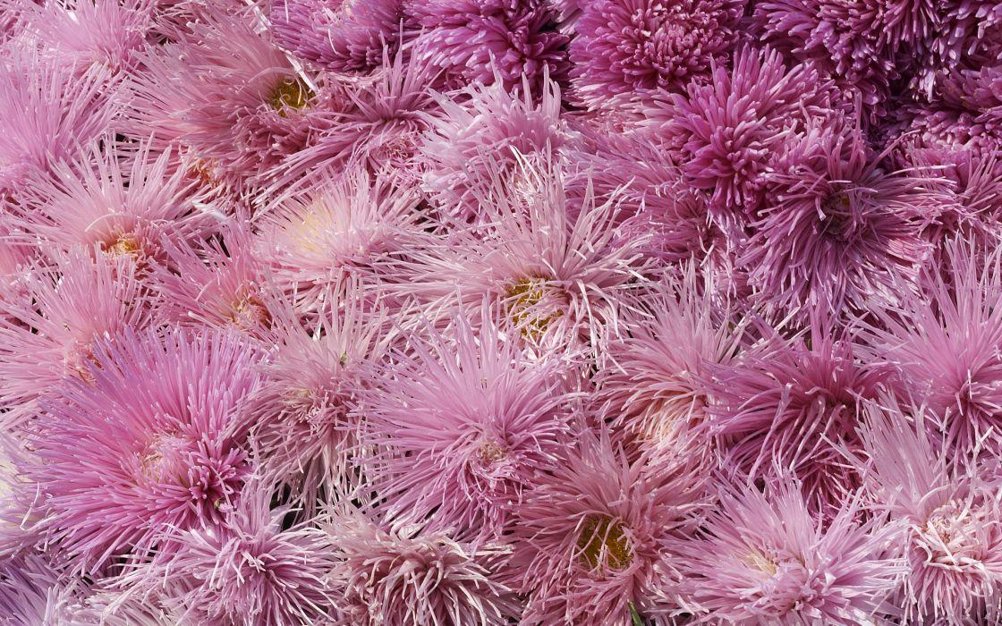 flowers pink flowers chrysanthemums wallpaper