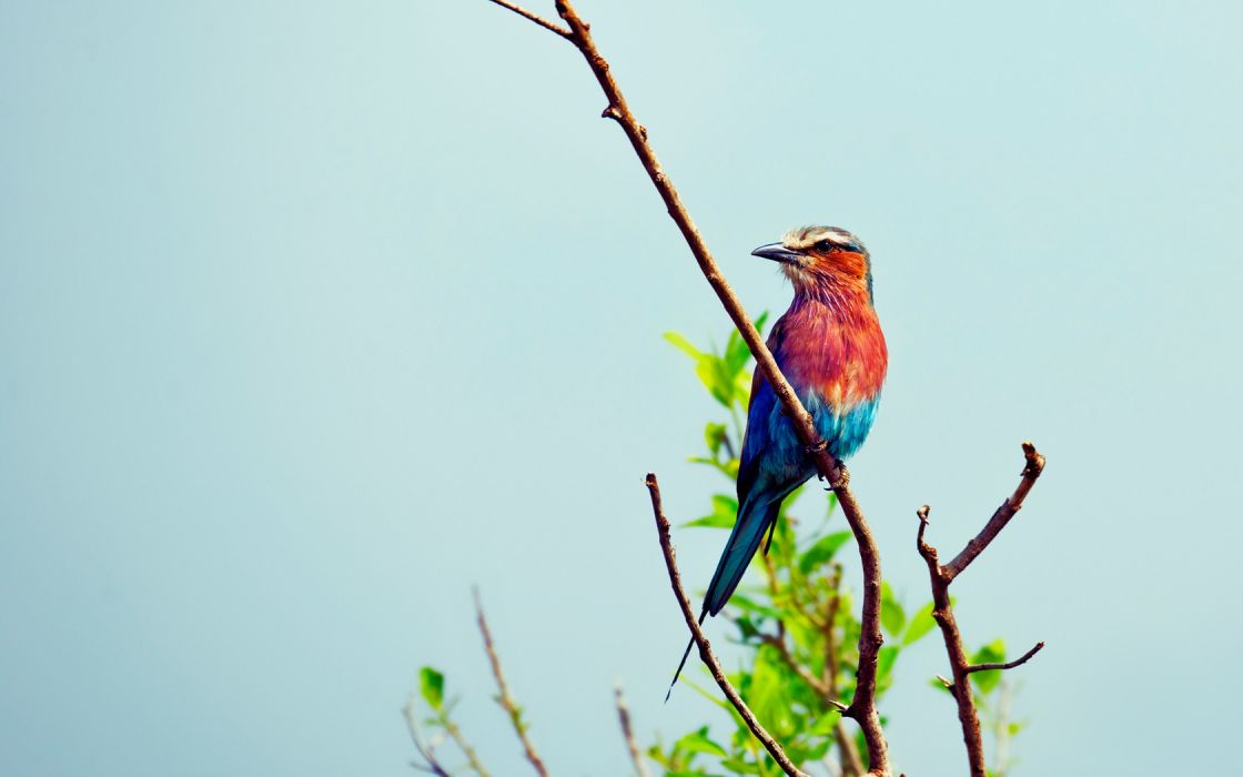 multicolor birds leaves branches Lilac-breasted Roller wallpaper