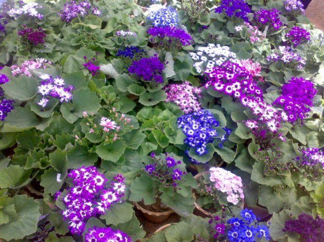 nature flowers bloom Iran shiraz wallpaper