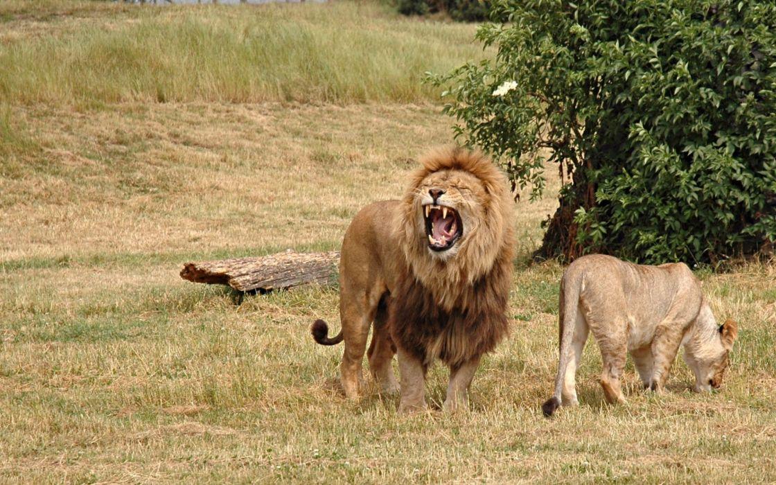 LION cat predator   f wallpaper