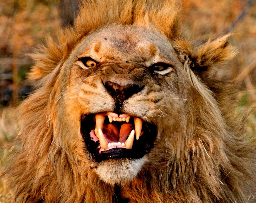 LION cat predator   rw wallpaper