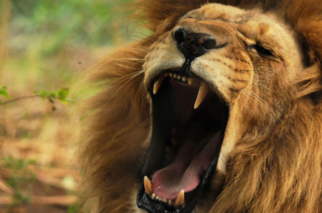 LION cat predator  eq wallpaper