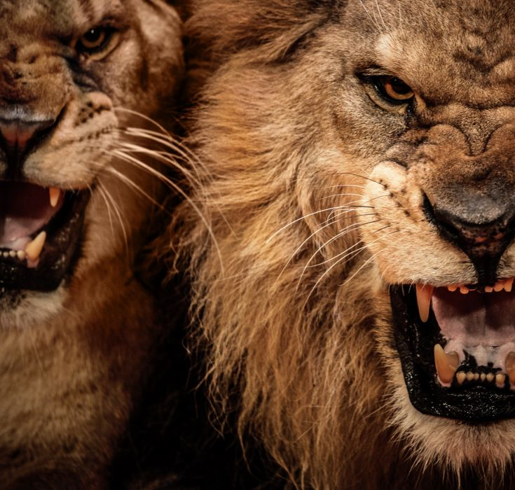 LION cat predator  fe wallpaper