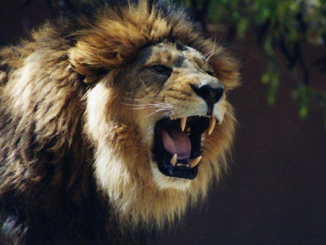 LION cat predator fv wallpaper