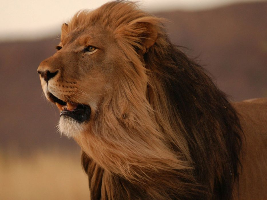 LION cat predator 3 wallpaper