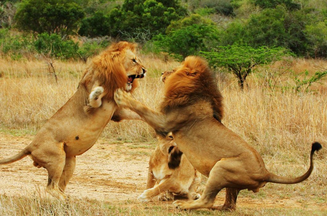 LION cat predator battle       f wallpaper
