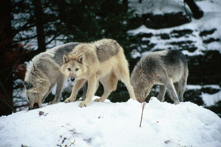 WOLF wolves predator g wallpaper