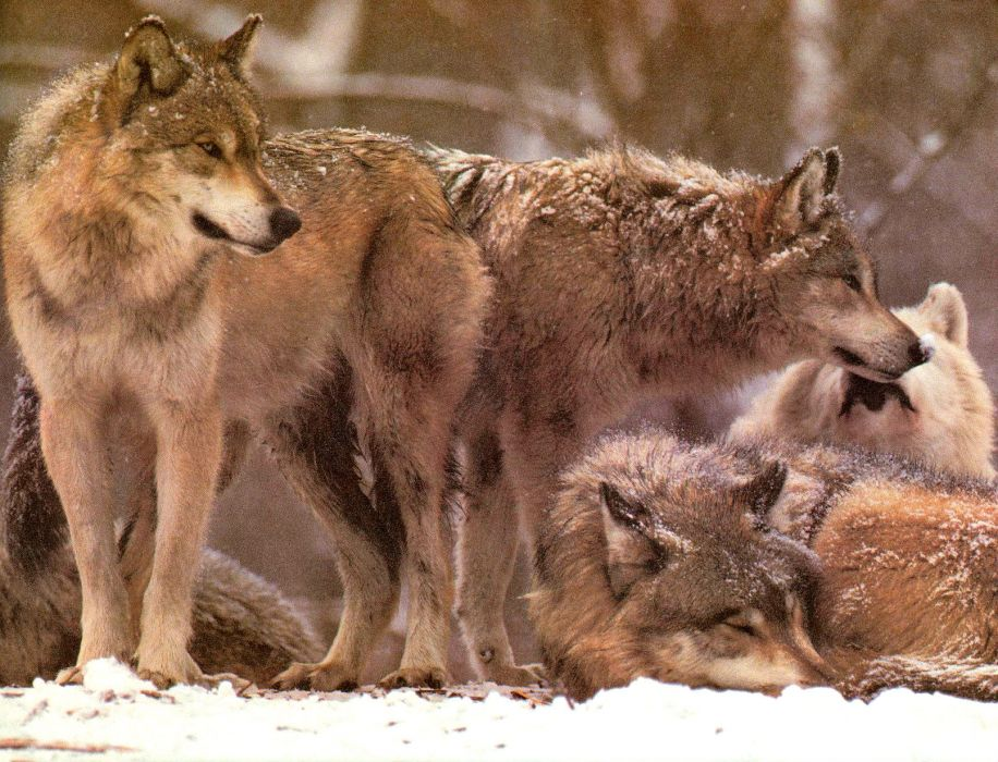 WOLF wolves predator   rb wallpaper