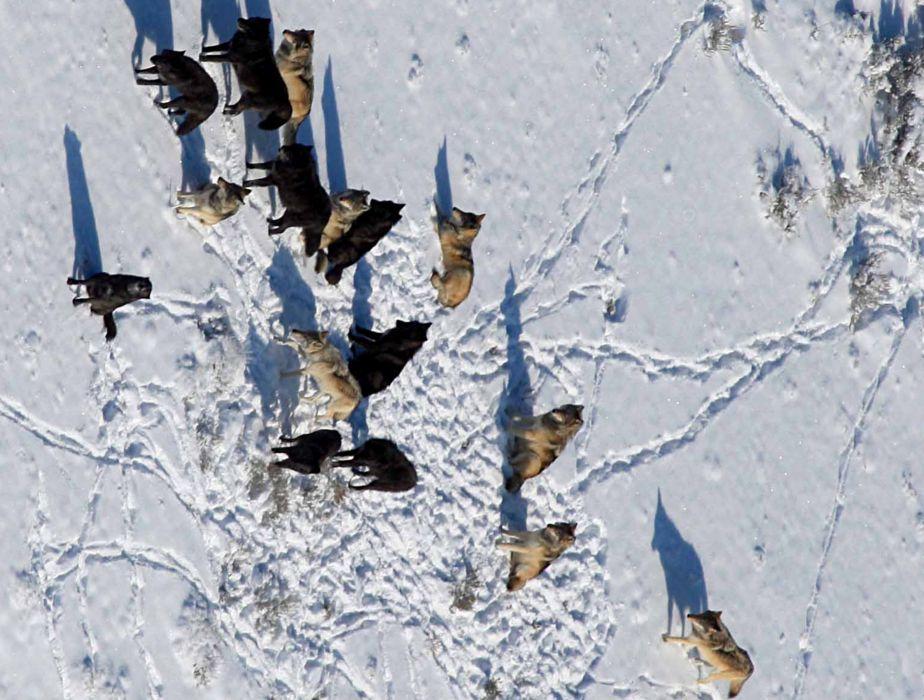 WOLF wolves predator   fw wallpaper