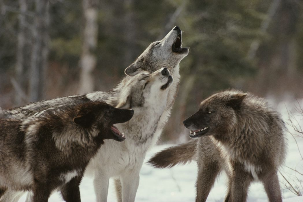 WOLF wolves predator   f wallpaper