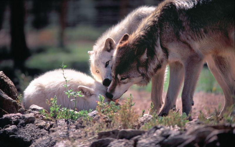 WOLF wolves predator r wallpaper