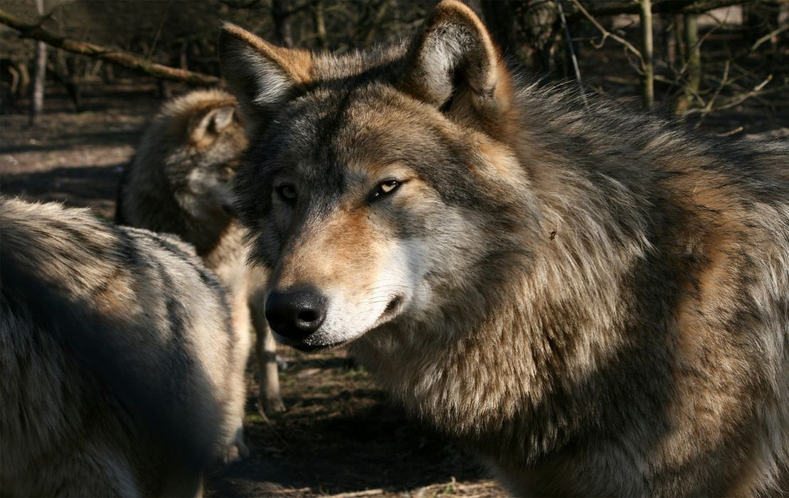 WOLF wolves predator  ru wallpaper
