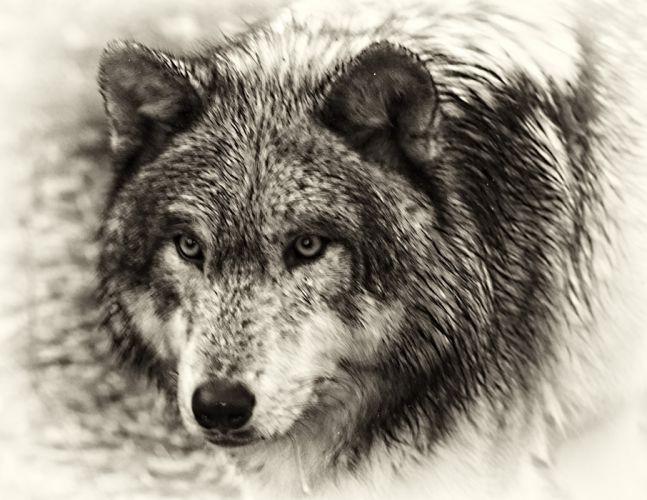 WOLF wolves predator gj wallpaper
