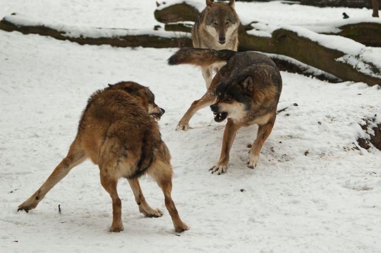 WOLF wolves predator rw wallpaper