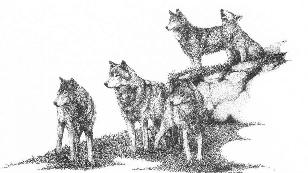 WOLF wolves predator art  h wallpaper