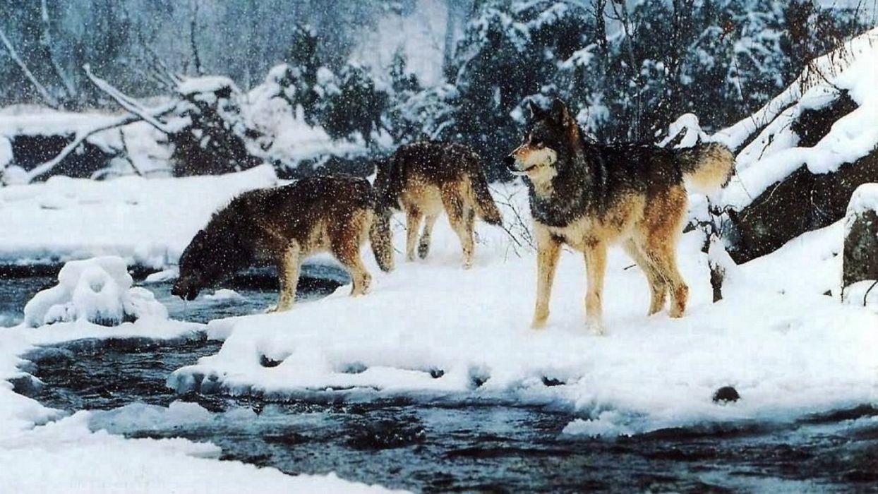 WOLF wolves predator winter snow     g wallpaper