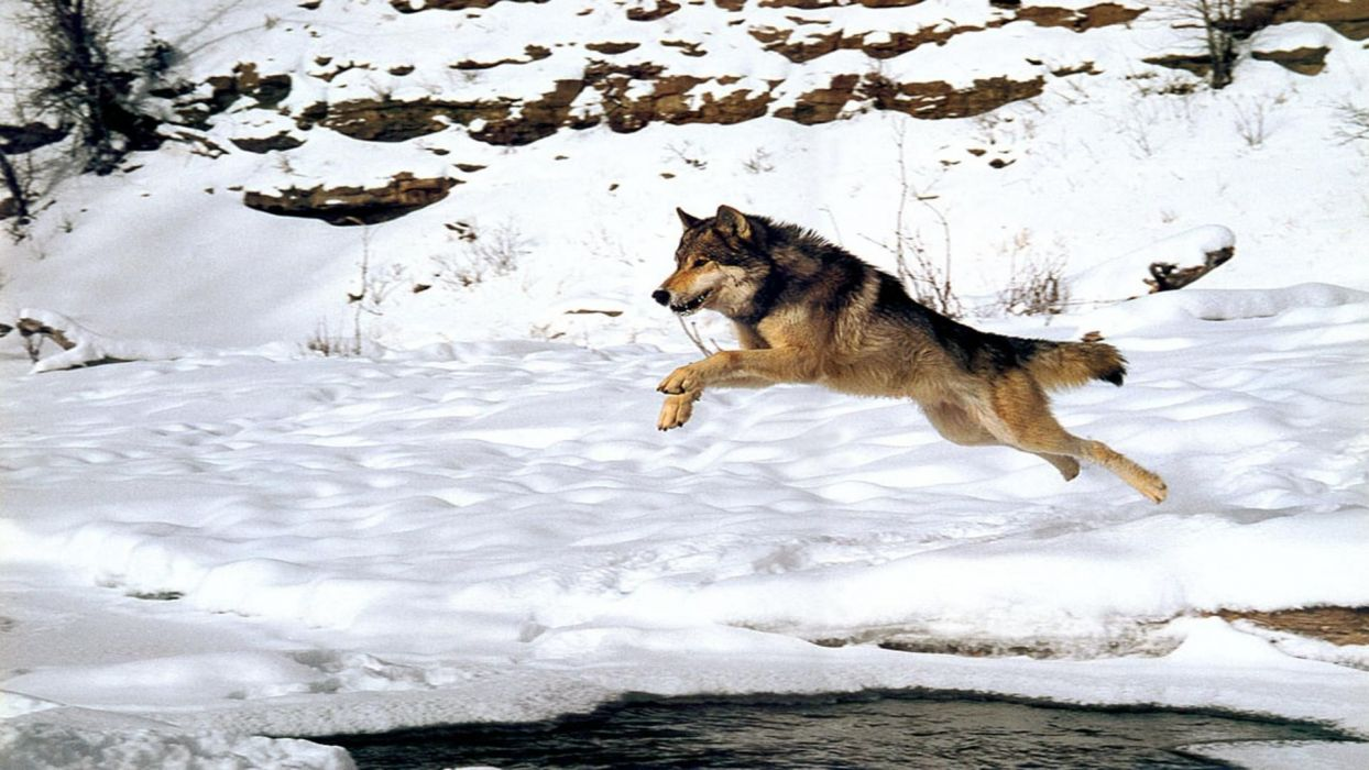 WOLF wolves predator winter snow  n wallpaper