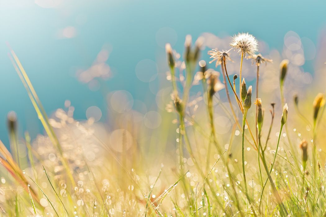 dandelions summer drops grass field bokeh mood     g wallpaper