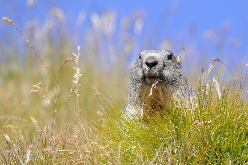 marmot a rodent grass    f wallpaper