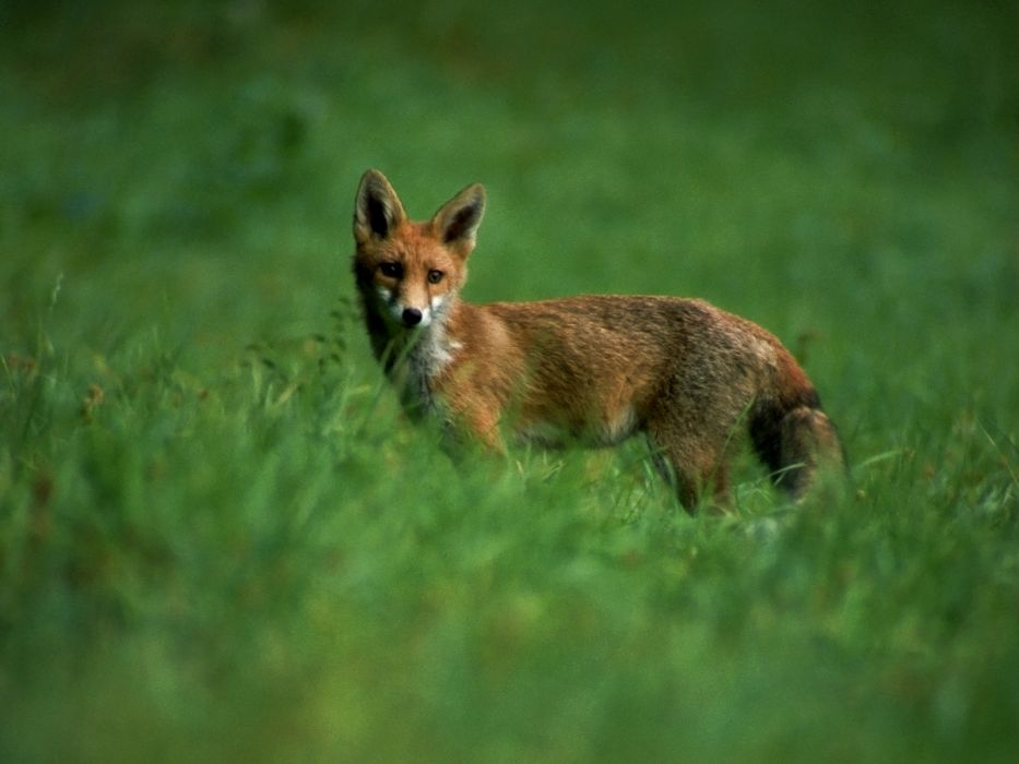 animals foxes wallpaper