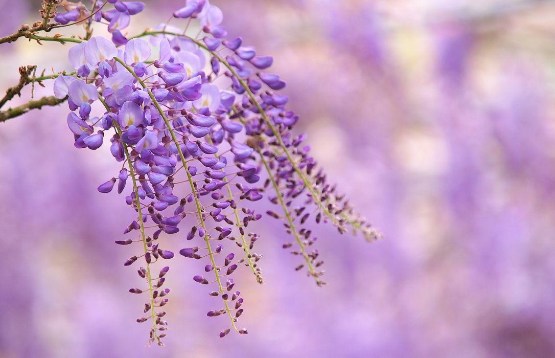 flowers branch lilac wisteria bokeh    h wallpaper