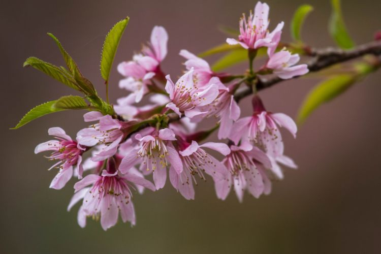 leaves branch cherry pink flowers wallpaper