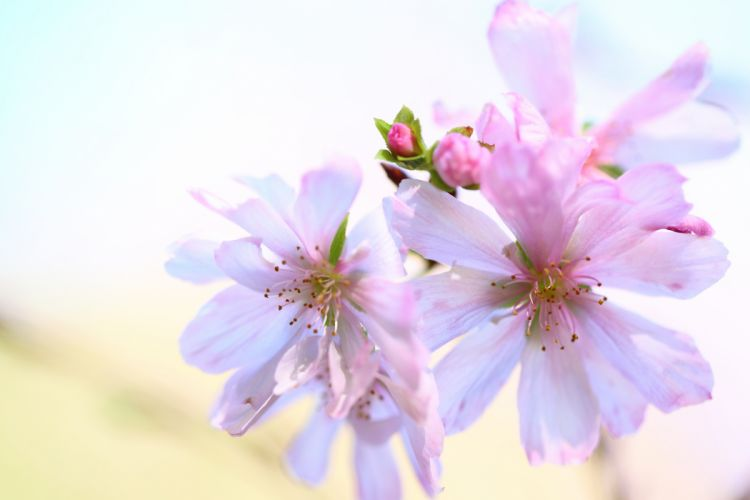 pink and white background bud wallpaper