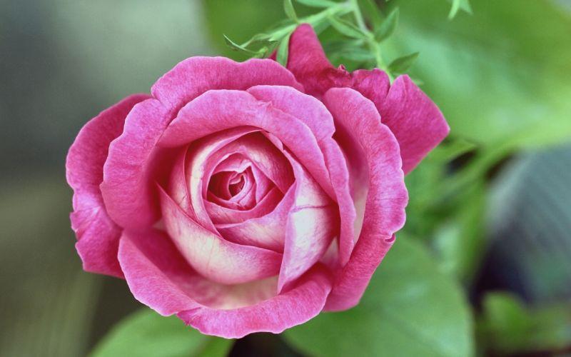 rose bud close-up wallpaper